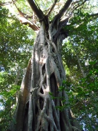 Huge stranglers tree