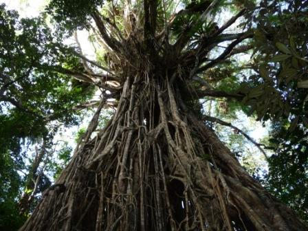 Cathedral fig tree1