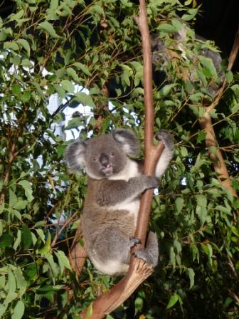 Tenero Koala