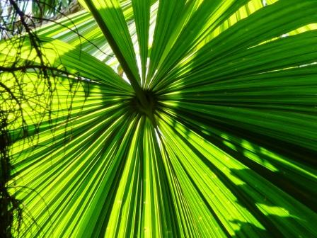 the fan palm