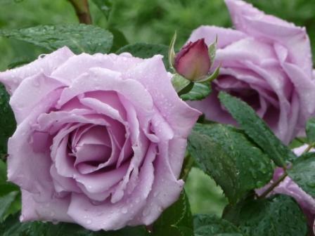 Rose viola per te
