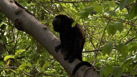 Mono congo1