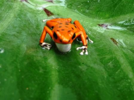Red frog1